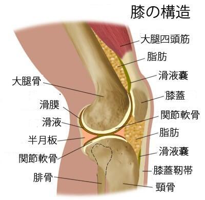 膝の構造1