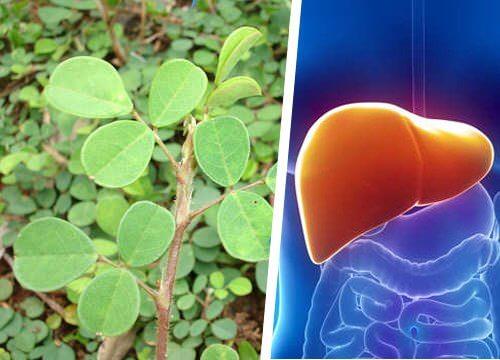 肝臓の再生を助けるハーブ