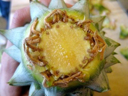 パイナップルの根
