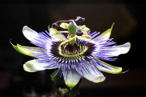 6-passionflower-tea