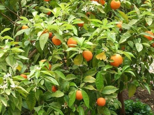 Naranjo-amargo-500x375