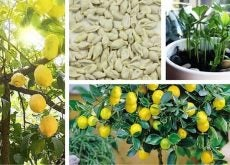 1-grow-a-lemon-tree