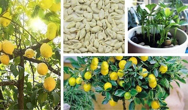 家庭でレモンを育てる方法
