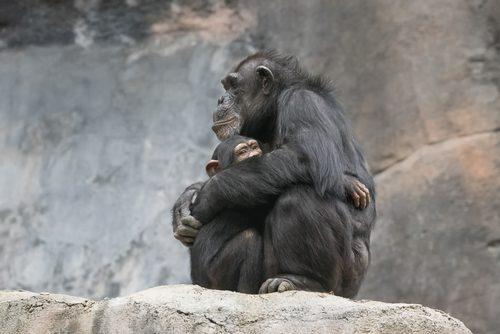 ハグするチンパンジー