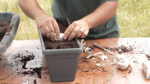 自宅でニンニクを栽培する方法