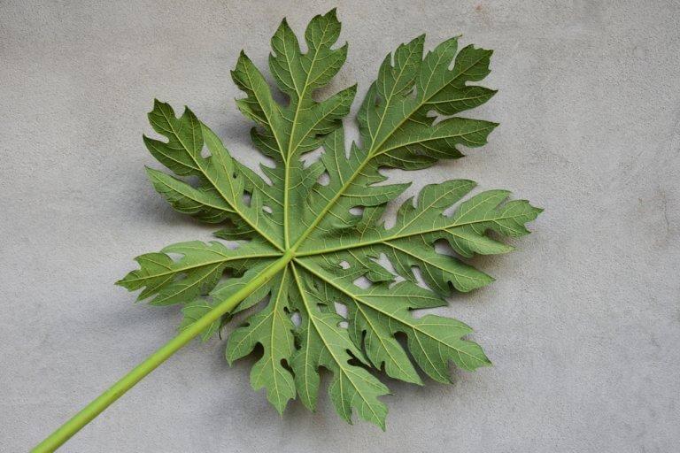 パパイヤの葉