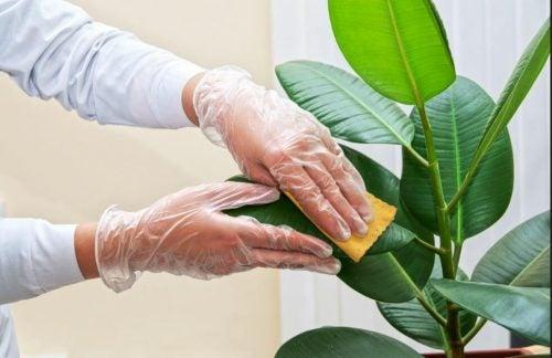 観葉植物の葉をきれいにする方法