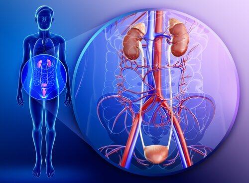 腎臓 パセリの成分