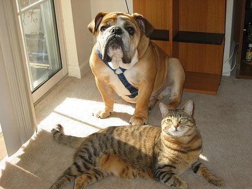 ブルドッグと猫