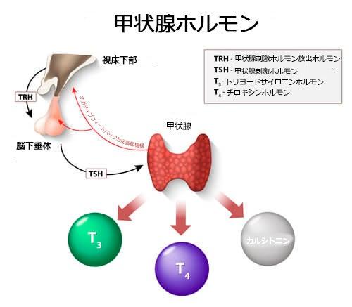 甲状腺ホルモン