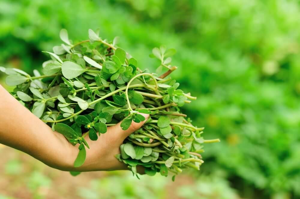雑草と野菜 スベリヒユ