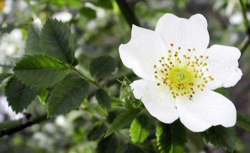 白サンザシの花
