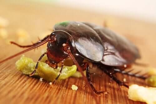 食べ物を食べるゴキブリ