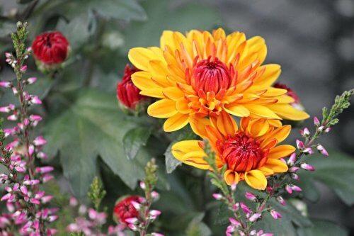 菊 天然防虫剤