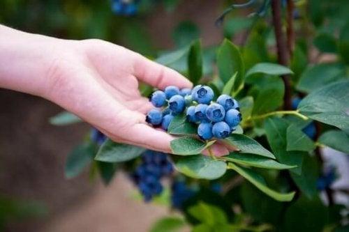 自宅でブルーベリーを栽培する方法