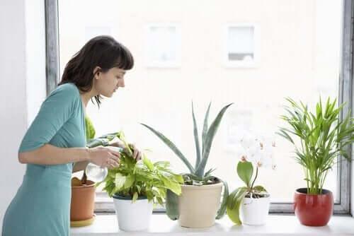 観賞植物に水をやる女性