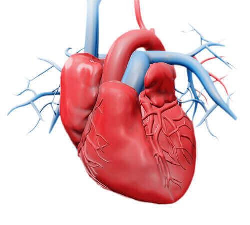 心臓:それぞれの構造とその働きについて 心臓の図解