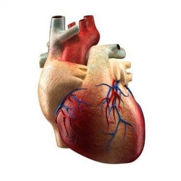 心臓:それぞれの構造とその働きについて