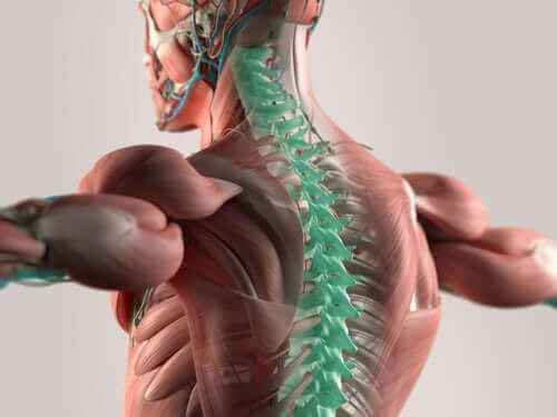 頚神経について知っておくべきすべてのこと 脊柱