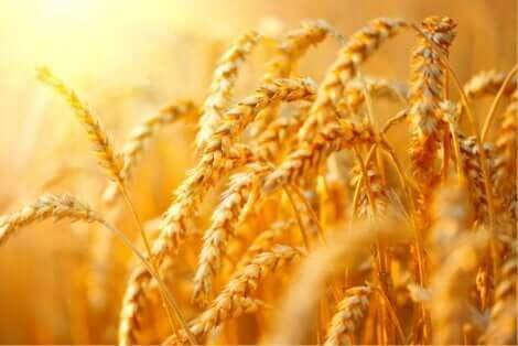 穀物の穂 穀物カムートの特性と効果について