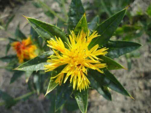 【良質な脂質】ベニバナ油の用途、利点、特性について